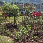 School Rose Bed